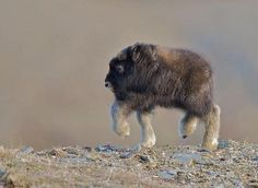 musk ox calf running