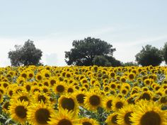 Sunflowers and olive trees are happy together in Le Marche, Italy.