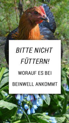 """Beinwell, """"Komfrei"""" oder Comfrey - eine beliebte Futterpflanze? Vorsicht: auf die Sorte kommt es an.  Beinwell (jede Sorte) wirkt heilend und kann äusserlich als Salbe wahre Wunder wirken. Füttern solltest Du sie trotzdem nur bedingt. Kraut, Rooster, Animals, Free Range, Plants, Animales, Animaux, Animal, Animais"""