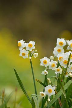 Narcissus+tazetta+var.+chinensis