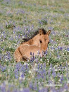 Foal in the Lupine  Fine Art Wild Horse Photograph by Carol Walker www.LivingImagesCJW.com