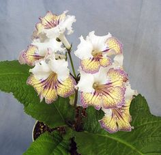 Streptocarpus 'Ambra' by Piotr Kleszczynski from Poland. Mine arrived a large, healthy young plant from the Violet Barn. NOV UPDATE:  Lost my plant to mites and lost most of my leaf babies, BUT I have at least one large, vigorously growing baby left!