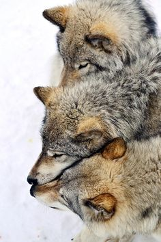 Connectivity of a wolf pack Wolf Spirit, Spirit Animal, Wolf Pictures, Animal Pictures, Beautiful Creatures, Animals Beautiful, Animals And Pets, Cute Animals, Wild Animals