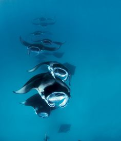 The manta rays of the Maldives make excellent subjects for underwater photography.