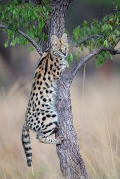 Big Cats - Serval - A beautiful serval cat using a small tree as a scratching post. in Liuwa Plain National Park, Zambia, Africa. - by Will Burrard-Lucas Small Wild Cats, Small Cat, Big Cats, Cool Cats, Cats And Kittens, Cats Meowing, Gatos Serval, Serval Cats, Animals And Pets