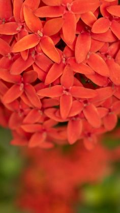 Red Ixora Flower Micro 4K Ultra HD Mobile Wallpaper. Photography Wallpapers, Mobile Wallpaper, Flowers, Plants, Red, Florals, Plant, Flower, Bloemen