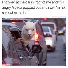 Honking at other vehicles opens up a hostile dialogue, if you're not confident enough in your position in the conflict to get out and fight an alpaca you need to sit the fuck down and resume traffic flow