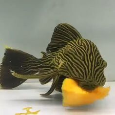 This is a gorgeous goldline pleco munching away on some pumpkin! Weird Fish, One Fish Two Fish, Sea Fish, Pleco Fish, Plecostomus, Cute Fish, Freshwater Aquarium Fish, Aquarium Design, Beautiful Fish
