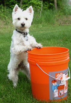 Westie on a Home Depot bucket by Aiml3ss