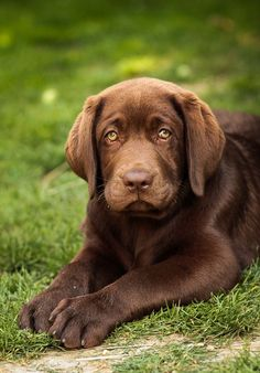 by Hana D.- chocolate labrador puppy with green eyes. OOHHH...I want one.