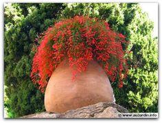 Flor-de-coral, Russélia– Russelia equisetiformis    A flor-de-coral ou russélia é uma planta pendente, de textura herbácea e muito florífera. Seus ramos são filiformes, ramificados, arqueados e longos, com cerca de 1 metro de comprimento, e apresentam florescimento muito ornamental.   http://sergiozeiger.tumblr.com/post/114124936333/flor-de-coral-russelia-russelia-equisetiformis  Da primavera ao outono despontam as inflorescências, com flores tubulares, de coloração vermelha, amarela ou…