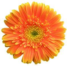 transparent-flowers: African Daisy. Gerbera jamesonii. (x).