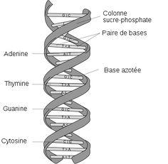 Watson et Crick: la structure de l'ADN