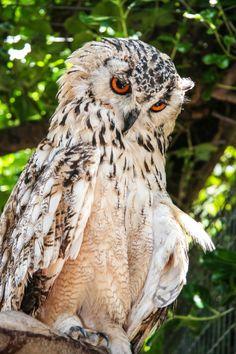 Bengal Eagle Owl - by Rikus Matthyser Owl Bird, Pet Birds, Bengal, Reptiles, Power Animal, Beautiful Owl, Wise Owl, Night Owl, Animal Totems