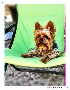 Tara mon petit chien yorkshire terrier