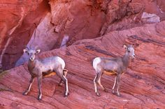 Bookends | Desert Big Horn Sheep. Valley Of Fire State Park. Overton, Nevada (pinned by haw-creek.com)