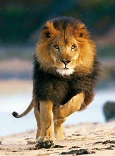 Gorgeous Lion - They need protection. The West African Lion is endangered due in large part to hunting. Lion Pictures, Animal Pictures, Beautiful Cats, Animals Beautiful, Animals And Pets, Cute Animals, Animals With Their Babies, Wild Animals Photos, Majestic Animals