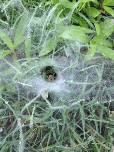 Spider Webs On Grass Dealing With Dollar Spot Fungus On