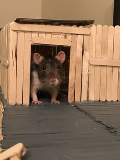 Coconut enjoying the new clubhouse. : RATS