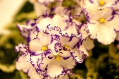 African Violet Lonestar Twilight incredible show plant