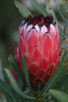 How to Get an Anthurium to Bloom Flor Protea, Protea Art, Protea Flower, Flowers Nature, Tropical Flowers, Wild Flowers, Unusual Flowers, Amazing Flowers, Orchid Cactus