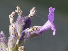 Flor de l'espígol (Lavandula angustifolia)
