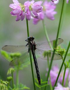 Black Dragonfly and Crown Vetch