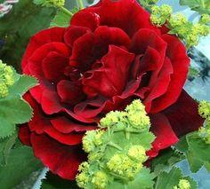 Collection de roses - Papa Meilland - Vos plus belles roses