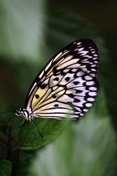 black and white butterfly .
