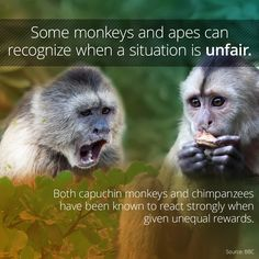 "Both capuchin monkeys and chimpanzees seem to have a concept of fairness, and will become emotionally distressed in unfair situations. If two monkeys receive unequal pay for the same task—one gets a tasty grape while another gets a cucumber slice, for example—the ""cheated"" party tends to get upset. This behavior was famously documented by primatologist Frans de Waal.  Click the image above to learn more!"
