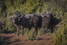 Buffaloes in Africa Karoo Hunting