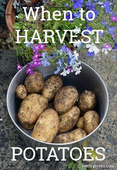 How to know when to harvest potatoes: it's based on whether they're an early potato or main crop and what happens to their foliage and flowers #lovelygreens #growyourown #gardeningtips When To Harvest Potatoes, Humble Potato, Edible Plants, Planting Vegetables, Grow Your Own Food, Plant Care, How To Know, Gardening Tips, Beans