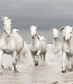 Photo White Horses of The Camargue par Jenni Alexander on Most Beautiful Animals, Beautiful Horses, Beautiful Creatures, Akhal Teke, Animals And Pets, Cute Animals, Majestic Horse, All The Pretty Horses, Mundo Animal
