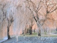 Weeping cherry trees.
