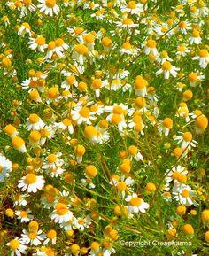 Camomila Planta medicinal utilizada em uso interno contra os espasmos e os problemas digestivos, e em uso externo como desinfetante e cicatrizante. Camomila (Matricaria recutita)