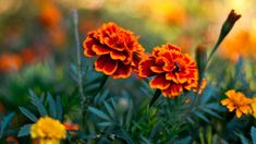 Flowers Pair Flowers HD k Wallpapers Screen Wallpaper, Cool Wallpaper, Marigold Flower, Flower Photos, Trees To Plant, Flora, Herbs, Plants, Wallpapers