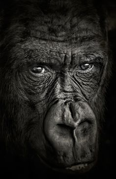 Gorilla - Very intense gaze