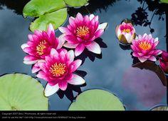 Meditierende Teichrosen in pink - ein lizenzfreies Stock Foto von Photocase