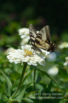 Yellow Swallowtail on white flower by Gloria Hansen 2013