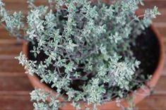 Nejmocnější-bylinka-proti-stresu,-Herpesu,-Candide-a-chřipkovému-viru