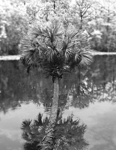 Palm over Silver Rock, Ocala, Florida - this palm is still growing. Except now it's all curled up and drunk looking