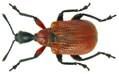 Family: Attelabidae Size: 6-8 mm Origin: East Asia, Siberia to Europe Ecology: Beetles mainly on Corylus Location: Germany, Bavaria. Upper Franconia, Kasendorf leg.det. U.Schmidt, 3.VI.1972 Photo: U.Schmidt, 2012