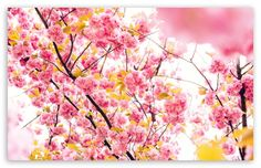Japanese Cherry Blossom Tree HD desktop wallpaper : Widescreen : High Definition : Fullscreen : Mobile : Dual Monitor