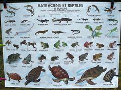 """Affiche scolaire """" Reptiles de France et Batraciens et reptiles d'Europe """" année 1978 de la boutique BROCBAIEDESOMME sur Etsy"""