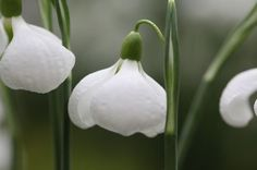 Galanthus plicatus 'Diggory' – perhaps my favourite snowdrop at the show... article in the guardian about 'snowdrop fever'