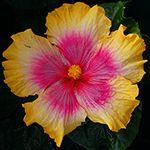 Hibiscus 'Buxom Beauty'