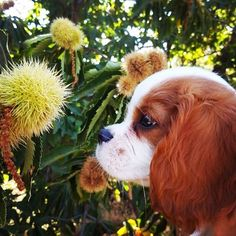 Más fotos perrunas #espectacular Foto @elfo_cavalier . . #mascota #perro #instadog #inspiredbypets #dog #doglover #dogofinstagram #dogoftheday #ilovemydog #doglife #animal #animalsofinstagram #pets #petstagram #petsofinstagram #picoftheday #cute #follow #followme #follow4follow #instafollow #tbt #l4l #awesome Pets, Animals, Elf, Animals And Pets, Animales, Animaux, Animal, Animais