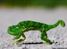chameleon walking - Google Search