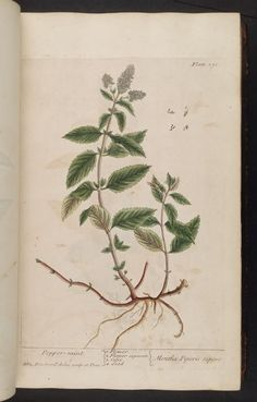 Mentha piperita | menthe poivrée | peppermint | A curious herbal. London : Printed for Samuel Harding, 1737-1739.. biodiversitylibrary.org/page/296869