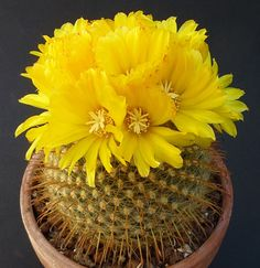 Cactus and Succulents 704 Cacti And Succulents, Planting Succulents, Planting Flowers, Cactus Planta, Cactus Y Suculentas, Rare Flowers, Amazing Flowers, Bonsai, Cactus House Plants